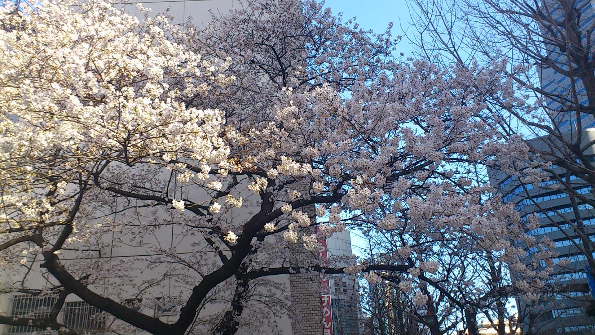 今年も桜。